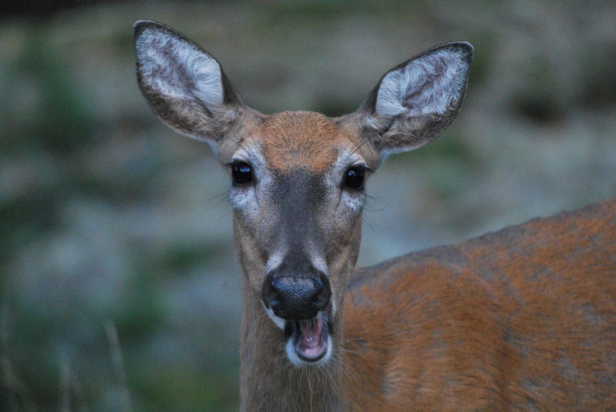 Minskning  av rådjurs- och hjortbeståndet/kauris- ja peurakannan pienentäminen 2018