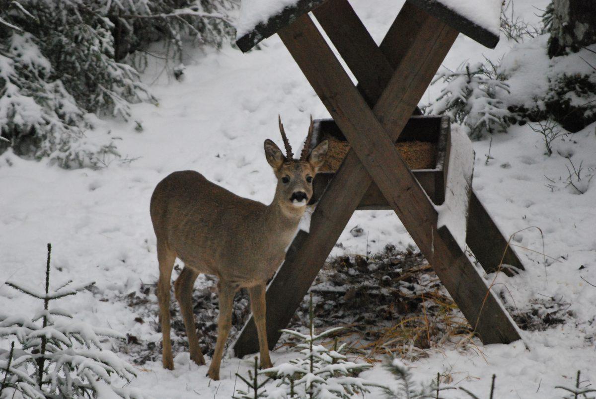 Djuren bort från gårdar och vägrenar genom matning/Ruokinnalla eläimet pois pihoista ja teiltä